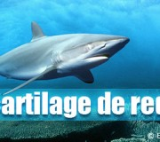 Le-cartilage-de-requin